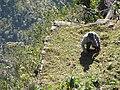 Landscape Worker at Machu Picchu Peru (4875617047).jpg