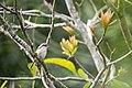 Lanius cristatus (25790478310).jpg