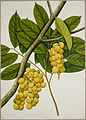 Lansium Domesticum - 40 drawings of plants at Bencoolen, Sumatra (c.1824) - BL NHD 48-19.jpg