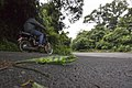 Large-scaled Forest Lizard-Calotes grandisquamis-Vijay Karthick.jpg