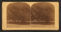 Large oak, 700 years old, Magnolia Cemetery, Charleston, S.C, from Robert N. Dennis collection of stereoscopic views.png