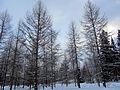 Larix sibirica - Siperianlehtikuusi, Sibirisk lärk, Siberian larch IMG 9213 C.JPG