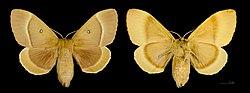 Lasiocampa quercus MHNT CUT 2011 0 446 female Mussidan.jpg