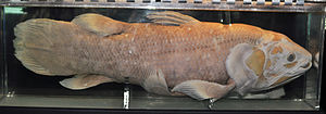 Coelacanth - West Indian Ocean coelacanth caught on 21 January 1965, near Mutsamudu (Anjouan, Comoro Islands)