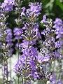 Lavandula angustifolia in Sedovo 1.jpg