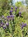 Lavandula stoechas (flowers).jpg