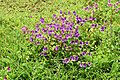Law's balsam, Kaas plateau 02.jpg