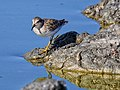Least Sandpiper Don Edwards WR 2.jpg