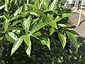 Leaves of Elaeagnus umbellata 20180415.jpg