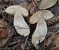 Leccinum chalybaeum Singer 766067 crop.jpg