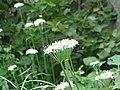 Leek flowers.jpg