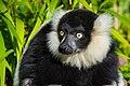 Lemur (24169370348).jpg