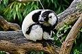Lemur (27618381668).jpg