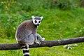 Lemur (36915679870).jpg