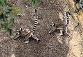 Lemur Catta03.jpg