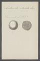 Lenticulites rotulata - - Print - Iconographia Zoologica - Special Collections University of Amsterdam - UBAINV0274 113 07 0016.tif