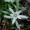Leontopodium shinanense.JPG