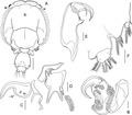 Lepeophtheirus elegans parasite130014-fig14.tif