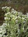 Lepidium papilliferum flowering in SW Idaho.jpg