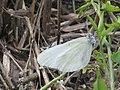 Leptidea ?sinapis - Wood white - Горошковая беляночка (41133046932).jpg