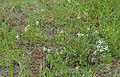 Lesser Honeysuckle Tree (Turraea obtusifolia) (16608119841).jpg