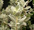 Leucophyllum frutescens 02 ies.jpg