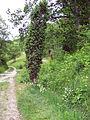 Leutratal-Anthericum+Juniperus-116.jpg