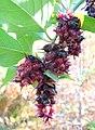 Leycesteria formosa - Quarryhill Botanical Garden - DSC03323.JPG