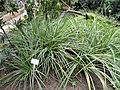 Libertia elegans - Botanischer Garten Freiburg - DSC06356.jpg