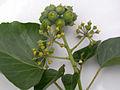 Lierre-fruits.jpg