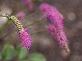 Lilac squirrel (80857).jpg