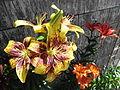 Lilium di diversi colori.JPG