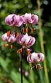 Lilium martagon (Martagon Lily).jpg
