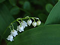 Lily of the valley (2505596762).jpg