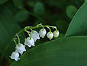 Lily of the valley (2505596762)
