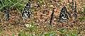 Lime Butterfly (Papilio demoleus) mud-puddling W IMG 0233.jpg