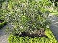 Limoges plante jardin botanique (27308142664).jpg