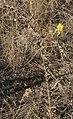 Linaria dalmatica 3.jpg