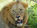 Lion (Panthera leo) (13605796314).jpg