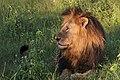 Lion (Panthera leo) old male head Chobe.jpg