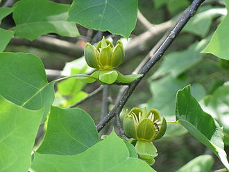 Liriodendron - Liriodendron chinense twig with flowers. Notice that the orange pigment characteristic of L. tulipifera petals is absent.
