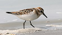 Little Stint (Calidris minuta) (7).jpg