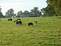 Little horses near Little Wolford - geograph.org.uk - 271848.jpg
