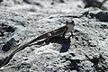 Lizard Seminole Park 2019 02.jpg
