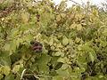 Lizard and mulberry-tree.jpg