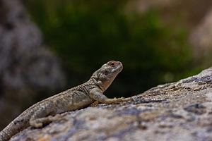 Lizard on the rock.jpg