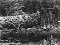 Logger ready to crosscut a downed fir, Washington, 1915 (KINSEY 2782).jpeg