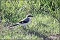 Loggerhead shrike (7606495880).jpg