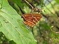 Long-banded Silverline -Spindasis lohita at Mayyil (18).jpg