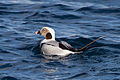 Long-tailed Duck (Clangula hyemalis) (13667933864).jpg